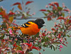 "<div class=""jaDesc""> <h4> Baltimore Oriole Eating Caterpillars - May 9, 2010</h4> <p>  The tent caterpillars are out in force this year.  They are our Baltimore Oriole's favorite food.  He makes the rounds of our crabapple trees twice a day, paying little attention to me as he searches among the leaves.</p> </div>"