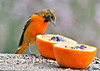 "<div class=""jaDesc""> <h4>Immature Male Baltimore Oriole Eating Grape Jelly- May 8, 2014</h4> <p>The immature male Baltimore Oriole definitely preferred the grape jelly.  He chowed down on that several times during the day.</p> </div>"