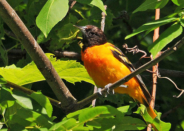 """<div class=""""jaDesc""""> <h4> Juvenile Male Baltimore Oriole - July 11, 2010</h4> <p>  I heard this juvenile male Oriole's chatter before I saw him. He was eating bugs off the leaves in a tree by the side of the road. His dark orange feathers are starting to show in the middle of his breast.</p> </div>"""