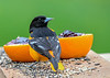 """<div class=""""jaDesc""""> <h4>Male Baltimore Oriole Back View - May 4, 2019</h4> <p></p></div>"""