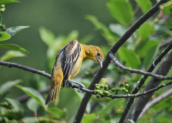 """<div class=""""jaDesc""""> <h4>Juvenile Baltimore Oriole Ready to Groom - June 22, 2018</h4> <p>One of the juvenile Orioles decided it was time to groom.</p> </div>"""