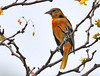 "<div class=""jaDesc""> <h4> Juvenile Baltimore Oriole in Locust Tree - August 9, 2010</h4> <p> This is a very young male Baltimore Oriole that showed up in our backyard.  He does not have any black head feathers yet, but his yellowish-orange feathers are coming along nicely.</p> </div>"