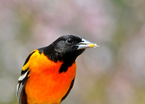 """<div class=""""jaDesc""""> <h4>Male Baltimore Oriole Close-up - May 8, 2014</h4> <p>This was one of the biggest orange chunks he grabbed. By 5PM this evening, both oranges halves and all the jelly were eaten.</p> </div>"""