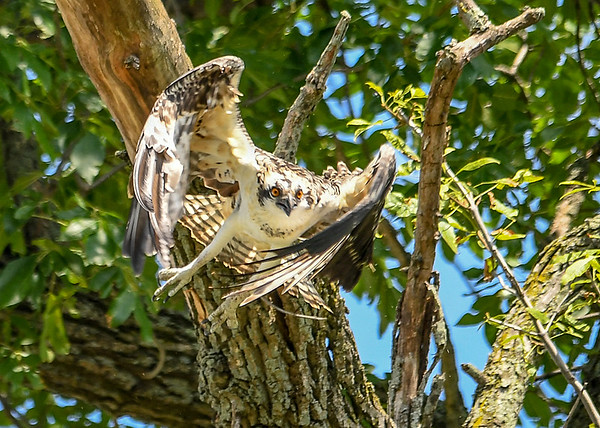 """<div class=""""jaDesc""""> <h4>Juvenile Osprey Deciding What to Do - August 8, 2019 </h4> <p>He looks a bit frantic as he tries to decide where is is going next.</p> </div>"""