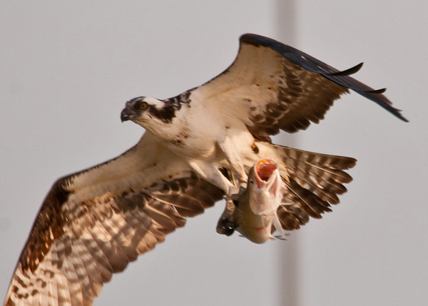 """<div class=""""jaDesc""""> <h4> Osprey Fly-by with Huge Catch - April 15, 2012 </h4> <p> This huge sea trout looked rather shocked to have been speared by this Osprey.  I was able to lock on as she flew by.</p> </div>"""