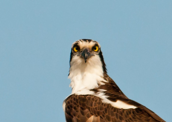 "<div class=""jaDesc""> <h4>Female Osprey Close-up - April 5, 2013 </h4> <p>At one point the female perched inside the nest looked straight at me.</p> </div>"