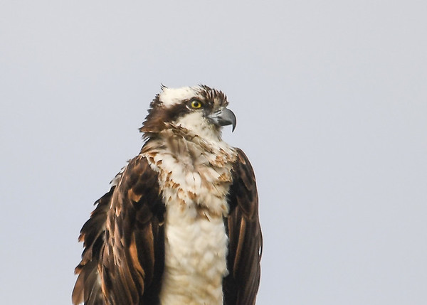 """<div class=""""jaDesc""""> <h4>Osprey Looking Right - March 30, 2017 </h4> <p>No problem tearing off pieces of fish with that beak!</p> </div>"""