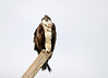 "<div class=""jaDesc""> <h4>Osprey Looking at Me - March 30, 2017 </h4> <p>Notice the length of those talons!</p> </div>"
