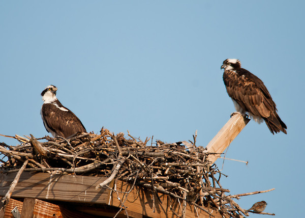"<div class=""jaDesc""> <h4>Osprey Pair at Nest - April 5, 2013 </h4> <p>The pair seemed to be enjoying the morning sunshine.  Cayuga Lake is less than half a mile away, so they will have easy access to lots of fish.</p> </div>"