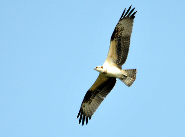"<div class=""jaDesc""> <h4> Osprey Soaring - September 2, 2011</h4> <p> This Osprey was soaring at about 100 feet over a water area at Montezuma Wildlife Refuge.  It is amazing that they can spot a fish while up so high.</p> </div>"