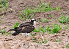 "<div class=""jaDesc""> <h4>Osprey in Plowed Field - May 15, 2016 </h4> <p>About 5 miles north of the first Osprey nest, we saw another nest that was vacant.  The Osprey was in a plowed field below the nest calling to its mate.</p> </div>"