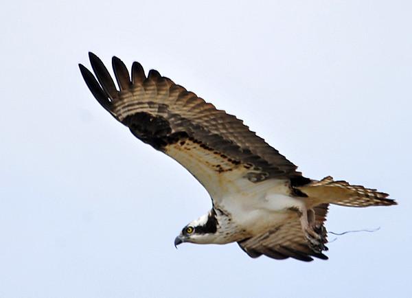 "<div class=""jaDesc""> <h4>Osprey In-flight Wings Level - April 13, 2015 </h4> <p></p> </div>"