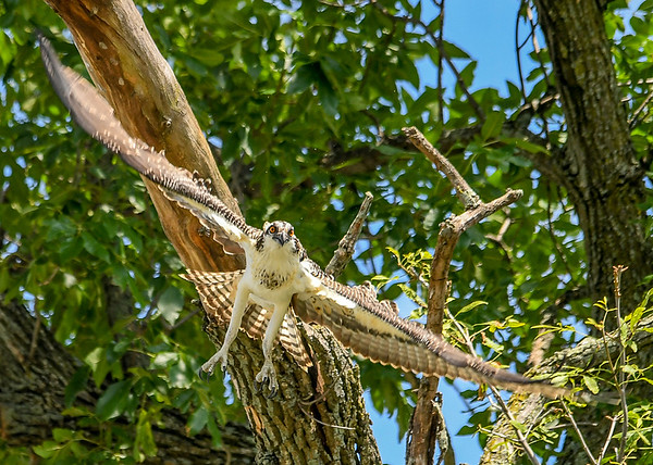 """<div class=""""jaDesc""""> <h4>Juvenile Osprey Breaking Fall - August 8, 2019 </h4> <p>With a downward swoop of his wings he breaks his fall.</p> </div>"""