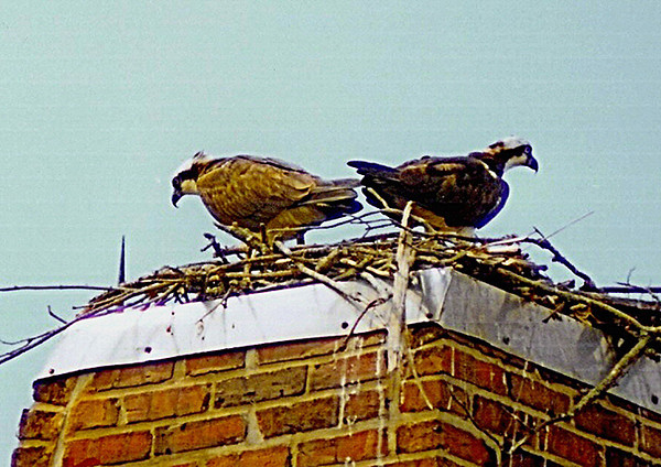"""<div class=""""jaDesc""""> <h4> Osprey Pair on Nest - July 2002</h4> <p> While vacationing in the outer banks, I found this Osprey nest on top of a chimney. There were chicks in the nest and the male was making regular food runs for fish to feed the female and chicks.</p> </div>"""