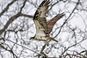 "<div class=""jaDesc""> <h4>Osprey Take-off - May 15, 2016 </h4> <p>This Osprey nest is on Route 90 that runs along the eastern side of Cayuga Lake, NY.  The lake is a good source of food for the Ospreys and their young.</p> </div>"