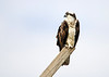"<div class=""jaDesc""> <h4>Osprey Looking Left - March 30, 2017 </h4> <p>This Osprey was perched above one of several nest platforms along Route 90 that runs up the eastern side of Cayuga Lake, NY.  No sign of his mate who might have been off fishing over the lake.</p> </div>"