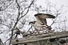 "<div class=""jaDesc""> <h4>Osprey Walking on Nest - May 15, 2016 </h4> <p>This Osprey is in the process of building a nest on top of a utility pole.  It does not look safe with the sticks touching the wire.</p> </div>"