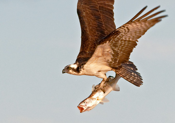 "<div class=""jaDesc""> <h4> Osprey Showing Off Huge Catch - Close-up - April 15, 2012 </h4> <p> </p> </div>"
