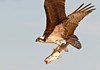 "<div class=""jaDesc""> <h4> Osprey Showing Off Huge Catch - Close-up - April 15, 2012 </h4> <p> </p> </div>"