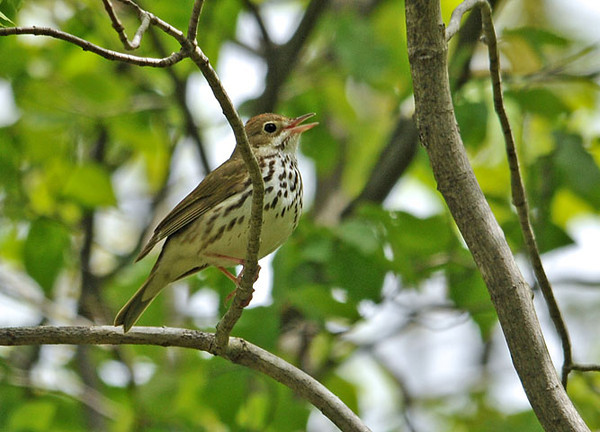 "<div class=""jaDesc""> <h4> Ovenbird Singing in Woods - May 15, 2010 </h4> <p> This Ovenbird was calling loudly at the edge of a wooded area.  A friend of mine was mimicking his call.  He landed right nearby to check us out and sing for us.</p> </div>"