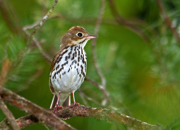 "<div class=""jaDesc""> <h4> Ovenbird Pops Out for a Look Around - May 22, 2011 </h4> <p> As I was hiking a wooded trail with a fellow photographer, we could hear lots of Ovenbirds. Their loud ""teacher, teacher, teacher"" call is very distinctive. Sometimes we get lucky and have one pop out of the dense trees to check us out.</p> </div>"