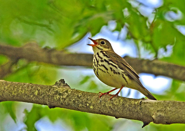 """<div class=""""jaDesc""""> <h4> Ovenbird Claiming His Territory - May 15, 2010 </h4> <p> This Ovenbird was singing loudly on a nearby branch to let my friend and me know that we were in his territory.</p> </div>"""