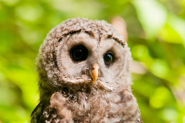"""<div class=""""jaDesc""""> <h4> Juvenile Barred Owl Close-up - July 1, 2012 </h4> <p> There were 2 juvenile Barred Owls hanging out with Mom at the bog in Chenango Valley State Park.  This one perched on a branch about 30 feet in front of me.  She stayed there for about 15 minutes.  At one point, she dropped down into the bog to take a quick bath.</p> </div>"""