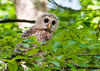 "<div class=""jaDesc""> <h4> Juvenile Barred Owl on Leafy Limb - July 1, 2012 </h4> <p> Sometimes the juvenile Barred Owls would perch on a leafy branch as if they were trying to hide.</p> </div>"
