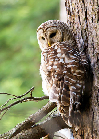 """<div class=""""jaDesc""""> <h4> Mother Barred Owl Resting - July 1, 2012 </h4> <p> The adult female Barred Owl would normally stay on the same perch overlooking the bog for up to an hour at a time.</p> </div>"""