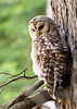 "<div class=""jaDesc""> <h4> Mother Barred Owl Resting - July 1, 2012 </h4> <p> The adult female Barred Owl would normally stay on the same perch overlooking the bog for up to an hour at a time.</p> </div>"