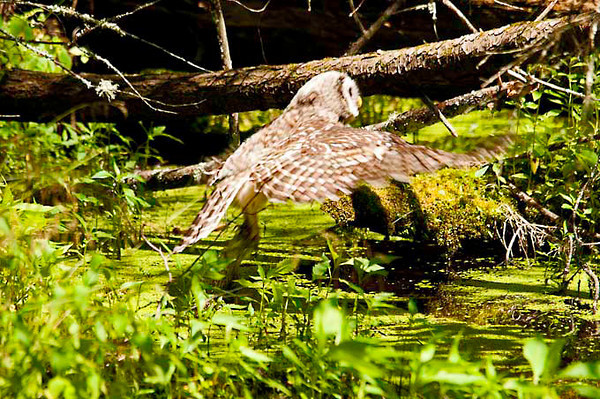 """<div class=""""jaDesc""""> <h4> Juvenile Barred Owl In-flight - July 1, 2012 </h4> <p> After rinsing off in the bog, this juvenile Barred Owl flew to a downed tree to dry off.  She groomed very meticulously just like an adult.</p> </div>"""