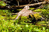 "<div class=""jaDesc""> <h4> Juvenile Barred Owl In-flight - July 1, 2012 </h4> <p> After rinsing off in the bog, this juvenile Barred Owl flew to a downed tree to dry off.  She groomed very meticulously just like an adult.</p> </div>"
