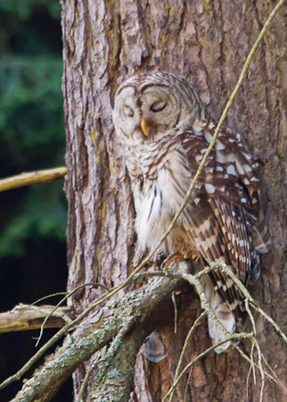 "<div class=""jaDesc""> <h4> Mama Barred Owl Caught Napping - July 1, 2012 </h4> <p> Mama Barred Owl was sneaking in a short nap while her 2 youngsters hissed back and forth at each other in adjacent trees.</p> </div>"