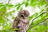 "<div class=""jaDesc""> <h4> Female Barred Owl - Looking Down - July 17, 2013</h4> <p>Mom Barred Owl was perched over the outlet to the bog at Chenango Valley State Park.  She was looking for a vole to go running along the bank so she could pounce.</p> </div>"