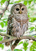 "<div class=""jaDesc""> <h4> Female Barred Owl on Perch - July 17, 2013</h4> <p>This female Barred Owl was on a perch by the bridge at the Chenango Valley State Park bog.  From this spot she had a view of the bog in front of her.  She stayed in this spot for the 30 minutes I was there.</p> </div>"