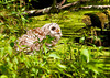 "<div class=""jaDesc""> <h4> Juvenile Barred Owl Bathing in Bog - July 1, 2012 </h4> <p> I was quite surprised when this juvenile Barred Owl flew down from her perch to the shallow bog water to take a bath.  She was standing in about 6 inches of water while she crouched down and splashed water up over her back with her wings much like I have seen geese do.</p> </div>"