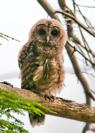 """<div class=""""jaDesc""""> <h4>Juvenile Barred Owl on Perch - July 17, 2013</h4> <p>As I was walking in toward the bog at Chenango Valley State Park, I heard a hissing sound off to the right.  I remembered that sound from last year when I visited the juvenile Barred Owls.  Two youngsters were perched on separate tree limbs about 20 feet apart.</p> </div>"""
