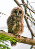 "<div class=""jaDesc""> <h4>Juvenile Barred Owl on Perch - July 17, 2013</h4> <p>As I was walking in toward the bog at Chenango Valley State Park, I heard a hissing sound off to the right.  I remembered that sound from last year when I visited the juvenile Barred Owls.  Two youngsters were perched on separate tree limbs about 20 feet apart.</p> </div>"