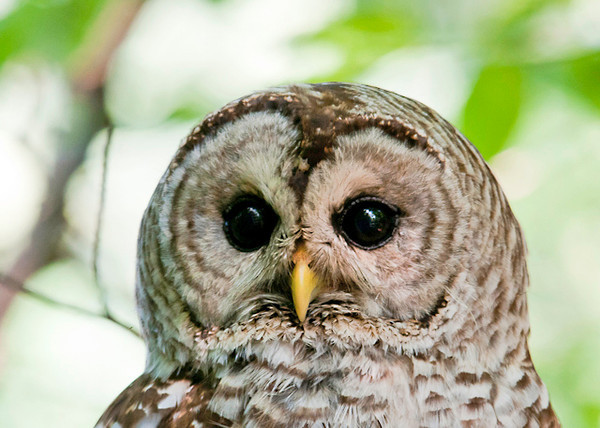 "<div class=""jaDesc""> <h4> Female Barred Owl Close-up - July 17, 2013</h4> <p> I was only 10 feet from her.  She was very relaxed and unfazed by my presence as she scanned the area for rodents and groomed herself.</p> </div>"