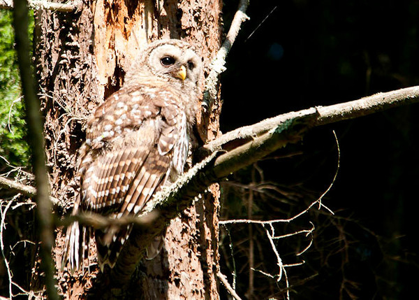 "<div class=""jaDesc""> <h4> Juvenile Barred Owl Moves to New Perch - July 1, 2012</h4> <p> The 2 juvenile Barred Owls were like fidgety little kids.  They would move to a new perch every few minutes.</p> </div>"