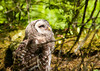 "<div class=""jaDesc""> <h4> Juvenile Barred Owl Looking Up at Mom - July 1, 2012 </h4> <p> This juvenile knew exactly where Mom was perched and would look up at her periodically to make sure she was still there.</p> </div>"