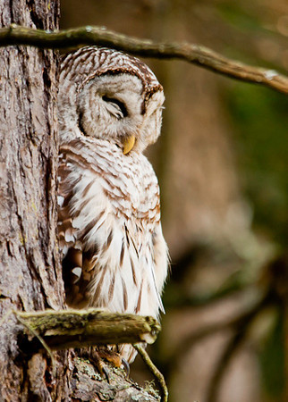 """<div class=""""jaDesc""""> <h4> Mother Barred Owl Snoozing - July 1, 2012 </h4> <p> With two youngsters to keep up with, mother Barred Owl is not getting her full daytime sleep.  She has to catch a nap now and then when she can.</p> </div>"""