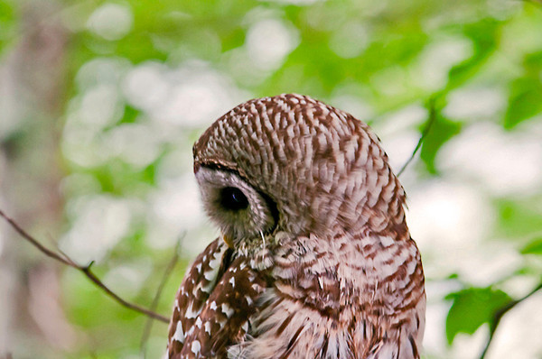 """<div class=""""jaDesc""""> <h4> Female Barred Owl - Side View - July 17, 2013</h4> <p>Mom Barred Owl only had 3 poses, look left as shown here, look down and look right.  She alternated back and forth between the 3 for over 15 minutes.</p> </div>"""
