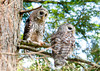 "<div class=""jaDesc""> <h4> Juvenile Barred Owl Pair Perched Together - July 1, 2012</h4> <p> The 2 juvenile Bared Owls would usually stay on separate perches and hiss back and forth at each other.  In this case they landed next to each other with no fuss.</p> </div>"