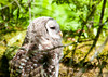 "<div class=""jaDesc""> <h4> Juvenile Barred Owl Resting - July 1, 2012 </h4> <p> One of the juvenile Barred Owls did slow down long enough to take a short rest.  The eyes were never totally closed, only dropped to about half way.</p> </div>"