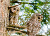 "<div class=""jaDesc""> <h4> Juvenile Barred Owl Pair Behaving Nicely - July 1, 2012</h4> <p> The 2 juvenile Bared Owls seemed to be enjoying each others' company for awhile on the same perch</p> </div>"