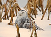 "<div class=""jaDesc""> <h4> Female Snowy Owl in Snow Covered Cornfield - November 27, 2008</h4> <p> My neighbor (a Harry Potter fan) called this morning to report that a Snowy Owl had just caught a rabbit in the cornfield across from their house.  I rushed up there with my camera and found this gorgeous female Snowy Owl resting in the snow.</p> </div>"