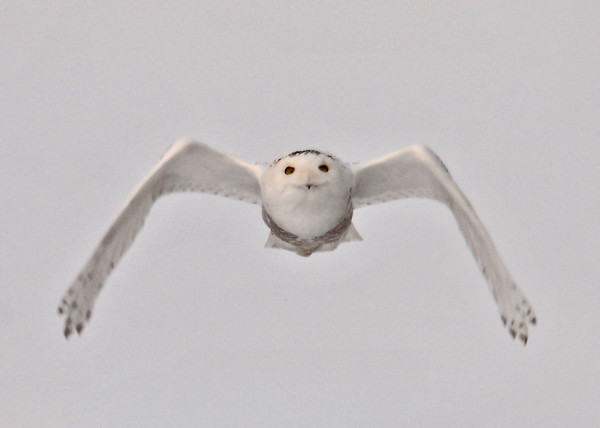 "<div class=""jaDesc""> <h4> Female Snowy Owl Slowing Down to Land - February 7, 2014</h4> <p> After a short flight over an open area, this female Snowy Owl was headed back to her perch.  I was lucky to have her headed straight toward me.</p> </div>"