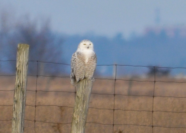 "<div class=""jaDesc""> <h4> Female Snowy Owl Resting - Amherst Island - January 31, 2012</h4> <p> She perched on this distant post for almost half an hour, slowly looking back and forth.</p> </div>"