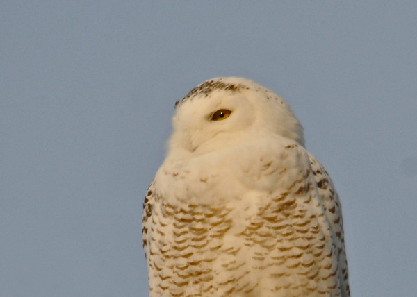 """<div class=""""jaDesc""""> <h4> Female Snowy Owl in Glow of Setting Sun - February 7, 2014</h4> <p> The setting sun gave this female Snowy Owl a golden glow.  She was perched on top of a utility pole on an insulator.  </p> </div>"""